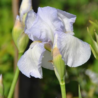 Iris germanica 'English Cottage' - Baardiris - Iris germanica 'English Cottage'