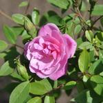 Rosa 'Pompon de Paris' - Rosa 'Pompon de Paris' - Roos, klimroos