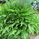 Hosta 'Harry van Trier' - Hartlelie/Funkia