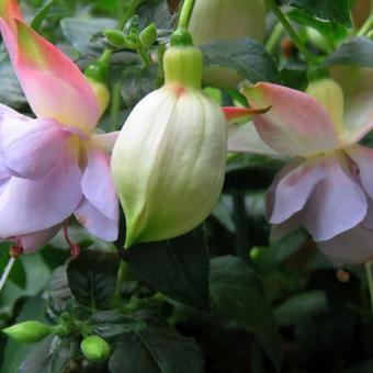 Fuchsia 'Holly's Beauty'