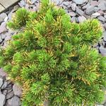 Pinus mugo 'Winter Gold' - Bergden