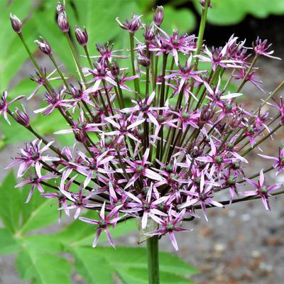 Allium 'Spider'  -