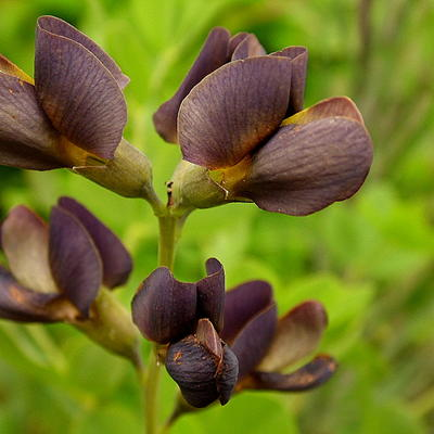 Baptisia australis  'DECADENCE Dutch Chocolate' - Valse indigo