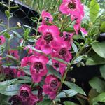 Angelonia angustifolia 'ANGELMIST Rose Dark' - Angelonia angustifolia 'ANGELMIST Rose Dark' - Zomerleeuwenbek