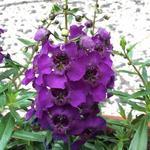Angelonia angustifolia 'ARCHANGEL Dark Purple' - Angelonia angustifolia 'ARCHANGEL Dark Purple' - Zomerleeuwenbek