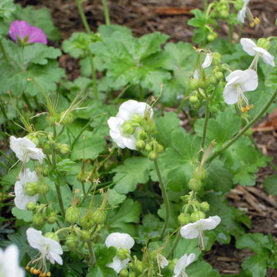 Geranium macrorrhizum 'Snowwhite' -