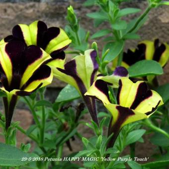 Petunia HAPPY MAGIC 'Yellow Purple Touch'