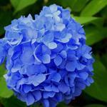 Hydrangea macrophylla (blauw) - Hortensia / bolhortensia - Hydrangea macrophylla (blauw)