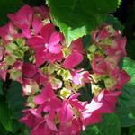 Hydrangea macrophylla (Rood) - Hortensia / bolhortensia - Hydrangea macrophylla (Rood)