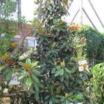 Magnolia grandiflora 'Goliath' - Beverboom - Magnolia grandiflora 'Goliath'