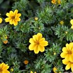 Bidens ferulifolia 'Yellow Sunshine' - Tandzaad