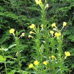 Oenothera biennis - Middelste teunisbloem, Gewone teunisbloem - Oenothera biennis