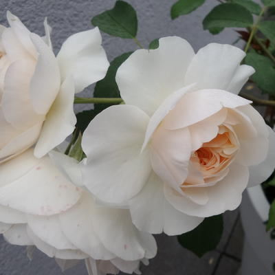 Rosa 'Lichfield Angel' - Roos