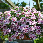 Calibrachoa 'Double Pink Tastic' - Calibrachoa 'Double Pink Tastic' - Mini petunia