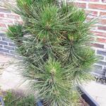 Pinus mugo 'Gnom' - Pinus mugo 'Gnom' - Bergden