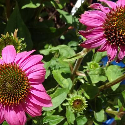 Echinacea 'MOOODZ In Love' - Rode zonnehoed