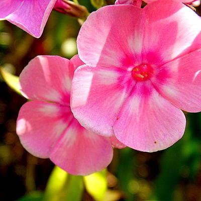 Phlox paniculata 'SWEET SUMMER Dream' -