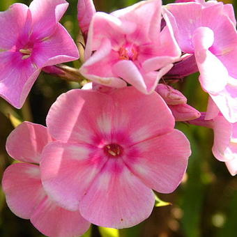 Phlox paniculata 'SWEET SUMMER Dream'
