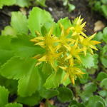 Sedum kamtschaticum 'Golden Carpet' - Sedum kamtschaticum 'Golden Carpet' - Russische Muurpeper