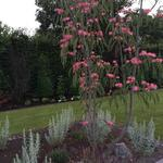 Albizia julibrissin 'Tropical Dream' - Perzische slaapboom
