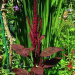 Amaranthus cruentus - Amaranthus cruentus - Paarse amarant