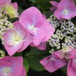 Hydrangea serrata 'Veerle' - Hortensia - Hydrangea serrata 'Veerle'