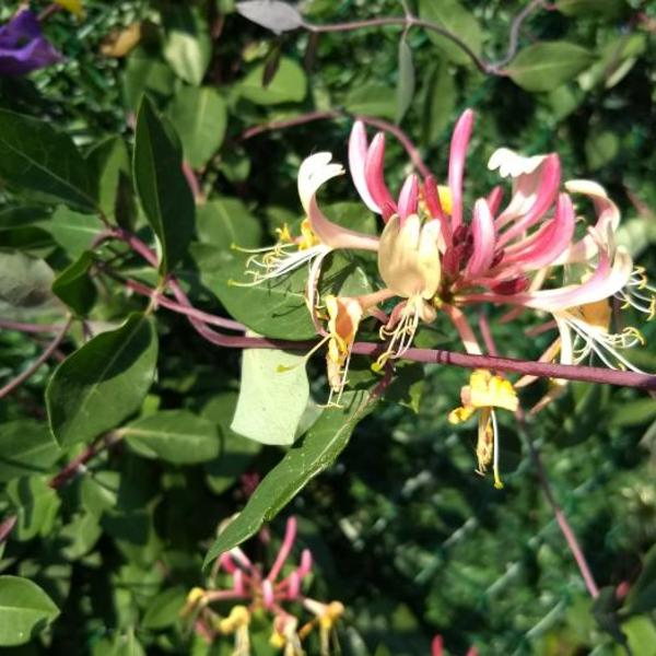 Lonicera japonica 'Red World'