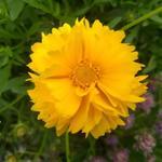 Coreopsis grandiflora 'Badengold' - Coreopsis grandiflora 'Badengold' - Meisjesogen