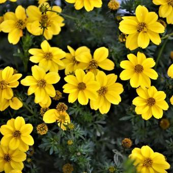 Bidens ferulifolia 'Yellow Sunshine'