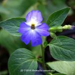 Browallia americana - Browallia americana - Jamaicaanse vergeet-mij-niet, Blauw klokje
