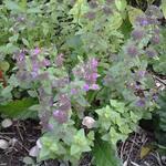 Clinopodium vulgare - Clinopodium vulgare - Borstelkrans