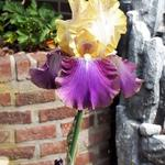 Iris germanica 'Edith Wolford' - Baardiris, zwaardiris