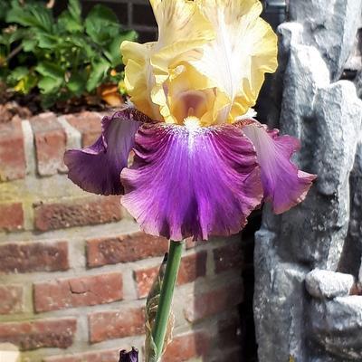 Iris germanica 'Edith Wolford' -