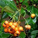 Pyracantha 'Golden Charmer' - Vuurdoorn - Pyracantha 'Golden Charmer'