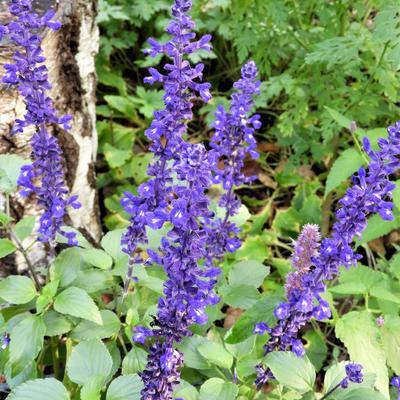 Salvia farinacea 'FARINA Blue' -