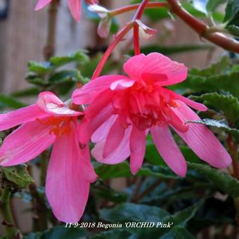 Begonia 'ORCHID Pink'