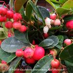Gaultheria procumbens 'Red Diamond' - Bergthee