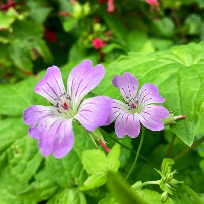 Geranium nodosum 'Simon' -
