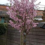 Prunus nipponica 'Brillant' - Japanse kerselaar - Prunus nipponica 'Brillant'