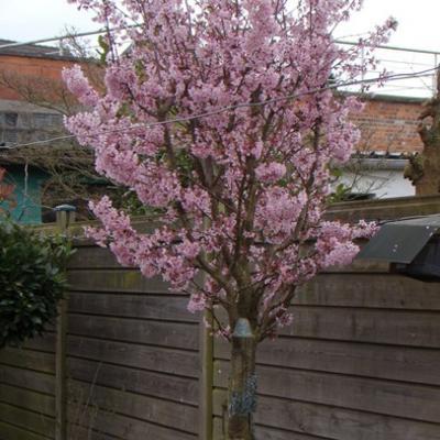 Prunus nipponica 'Brillant' -