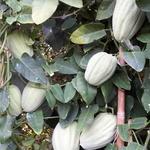 Araujia sericifera - Araujia sericifera - Motplant