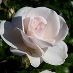 Rosa 'Constanze Mozart' - Roos - Rosa 'Constanze Mozart'