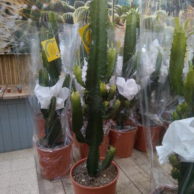 Euphorbia ingens -