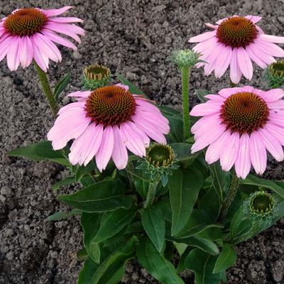 Echinacea SUNSEEKERS 'Pink' - Rode zonnehoed