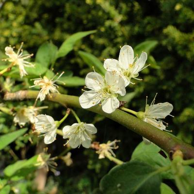 Prunus cerasifera -
