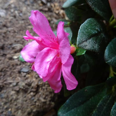 Rhododendron 'Melina' -