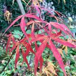 Acer palmatum ´Linearilobum' - Acer palmatum ´Linearilobum' - Japanse esdoorn