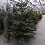 Abies procera - Abies procera - kerstboom - Nobilisspar