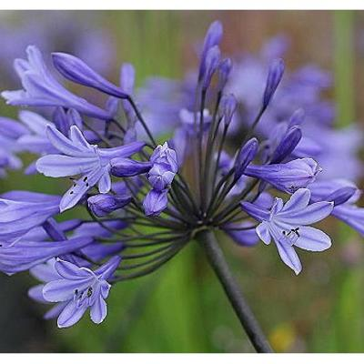 Agapanthus 'Greenfield' -