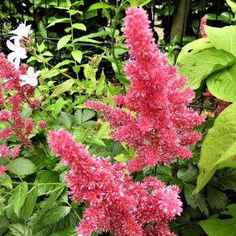 Astilbe x arendsii 'Fanal'